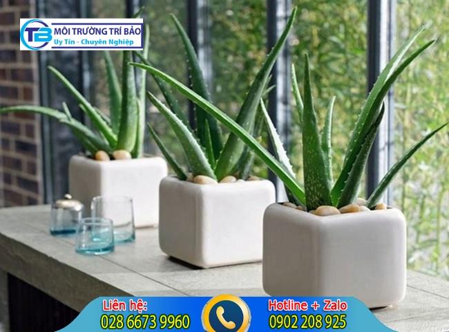 Cây lô hội có khả năng hấp thụ khí độc trong nhà